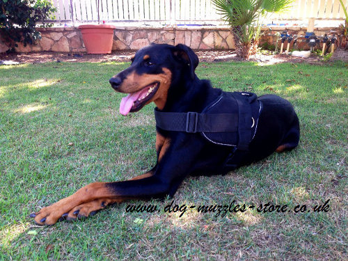 Doberman with a Nylon Dog Harness