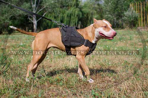 pitbull harness uk