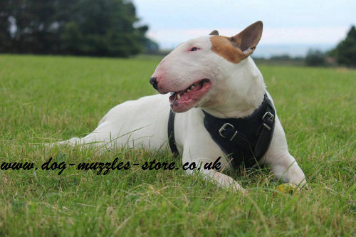 British Bull Terrier harness