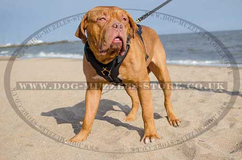 large dog harness for Dogue De Bordeaux