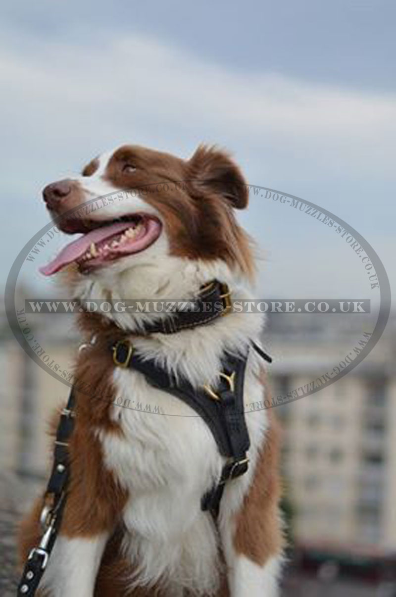 Australian Sheperd Leather Dog Harness