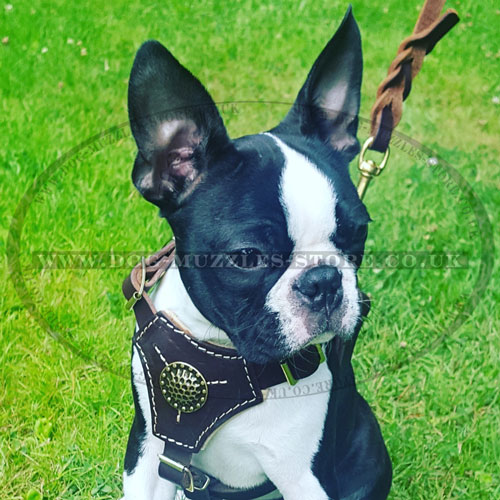 Leather Dog Harness for Boston Terrier