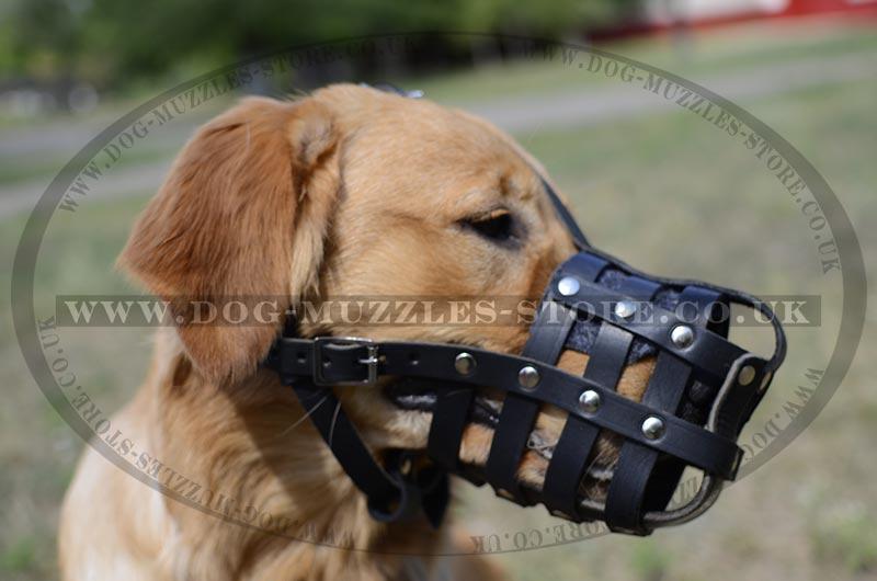 Golden retriever muzzle size