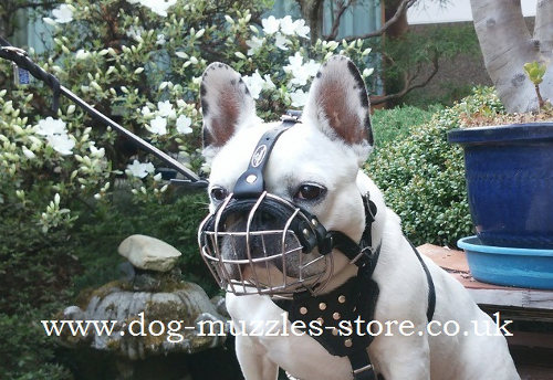 Flat Face Dog Muzzle Shape for the French Bulldog Dog Breed