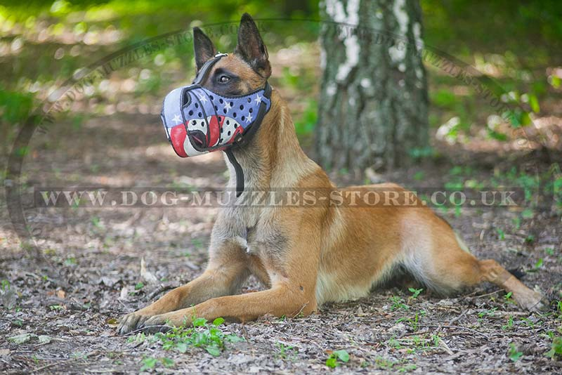 Belgian Malinois in the Sphinx Position during Dog Commands Training