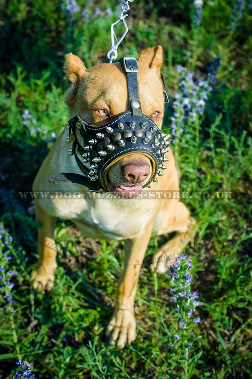 leather dog muzzle for Pitbull