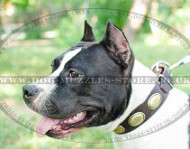 Elegant Dog Collar for Staffy | Designer Dog Collar Best Quality
