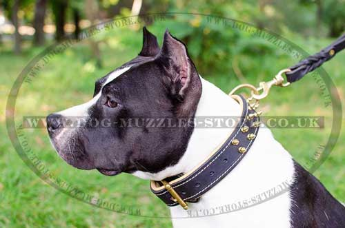 Amstaff Collar Soft Padded Spiked Design | Staffy Collar NEW! - Click Image to Close