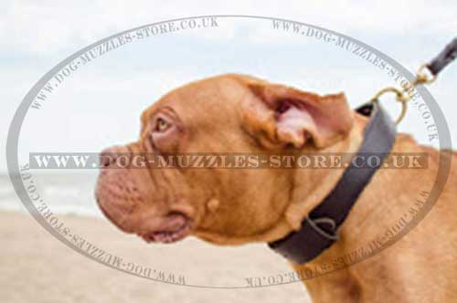 Dog De Bordeaux Collar 2 Ply Leather | Agitation Dog Collar UK
