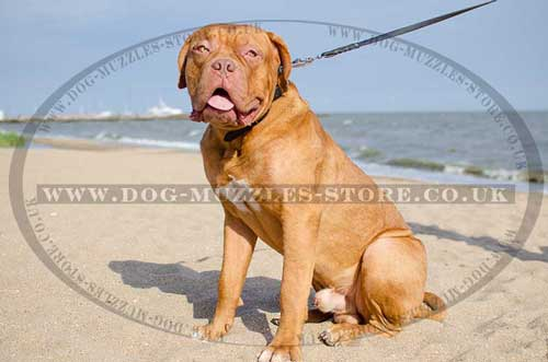 Dogue De Bordeaux Collar Classic and Choke 2 in 1
