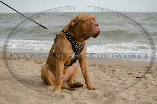 Dogue De Bordeaux Harness Leather with Studs