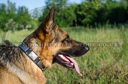 German Shepard Collars with Nickel Plates and Pyramids