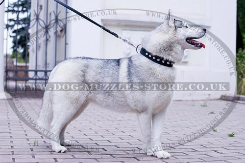 Studded Dog Collar with Shiny Cones for Siberian Husky
