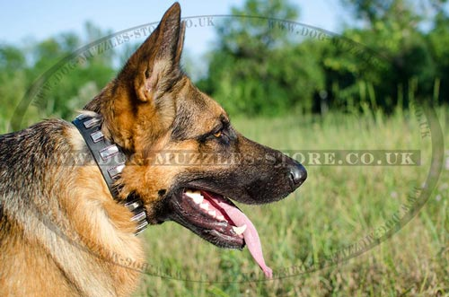 Designer Dog Collars for GSD with Elegant Plates