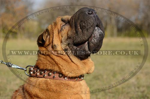 New Elegant Studded Dog Collar for Shar Pei Comfort and Style!