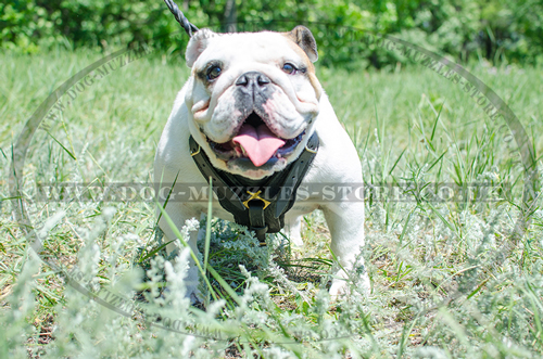 English Bulldog Harness Bestseller | Padded Leather Dog Harness - Click Image to Close