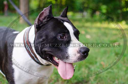 Handmade Dog Collars for Amstaff | Designer Dog Collars Painted