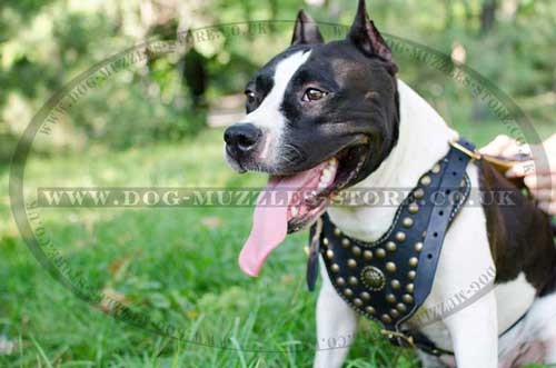 Leather Dog Harness for Amstaff - Royal Design