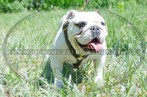Leather Harness for Dog with Brass Fitting | Bulldog Harness UK