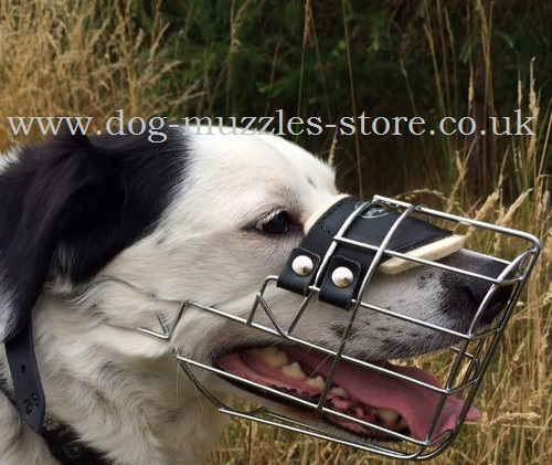 Border Collie Muzzle Shape