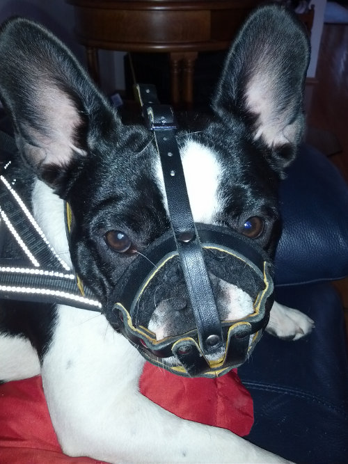 Soft Dog Muzzle for French Bulldog | Small Dog Muzzle Padded - Click Image to Close