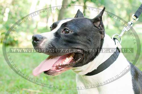 Staffie Collar Classic Design | Staffy Collars for Daily Walking
