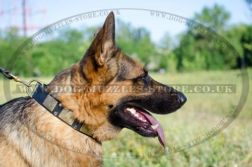 GSD Best Dog Collar with Brass Plates and Pyramids