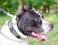 Leather Dog Collar with Vintage Plates for Amstaff - Best Design
