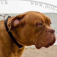 Dogue De Bordeaux Collars with Buckle | Nylon Collars for Dogs