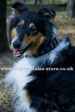 Collie Dog Breed Information