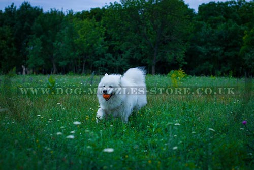 Samoyed Running Towards the Owner in Dog Fetch Training