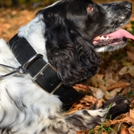 Best Spaniel Dog Collars: Nylon Dog Collar for Springer Spaniel