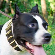 Wide Dog Collars with Brass Spikes for Amstaff